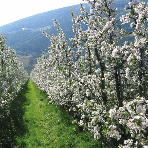 Südtiroler_obstgärten_blüte_apfelblüte_frühling_meraner_land_umgebung_naturns