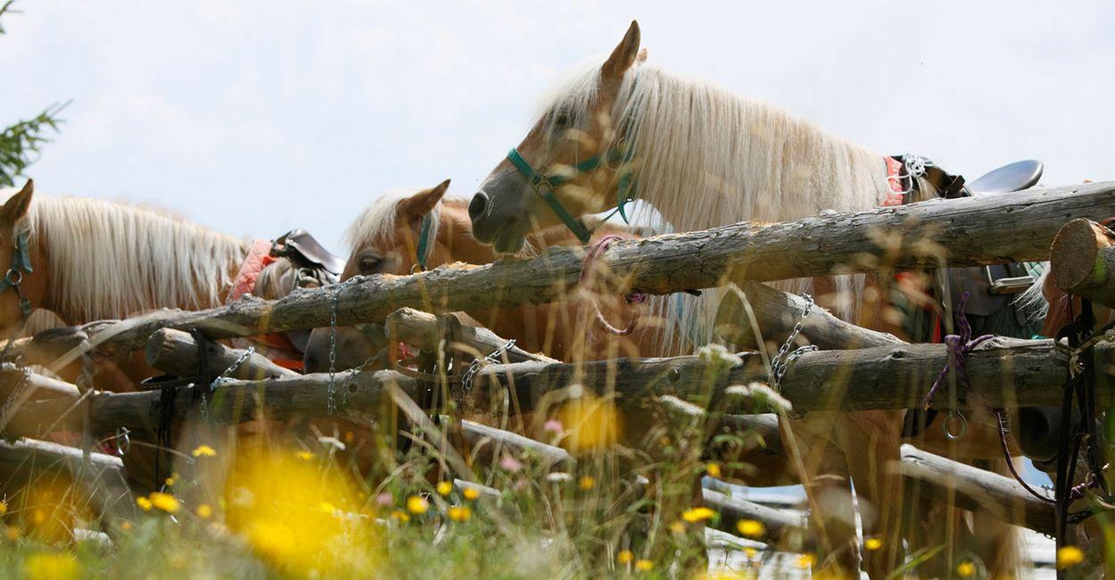 Gesattelte Pferde auf Koppel