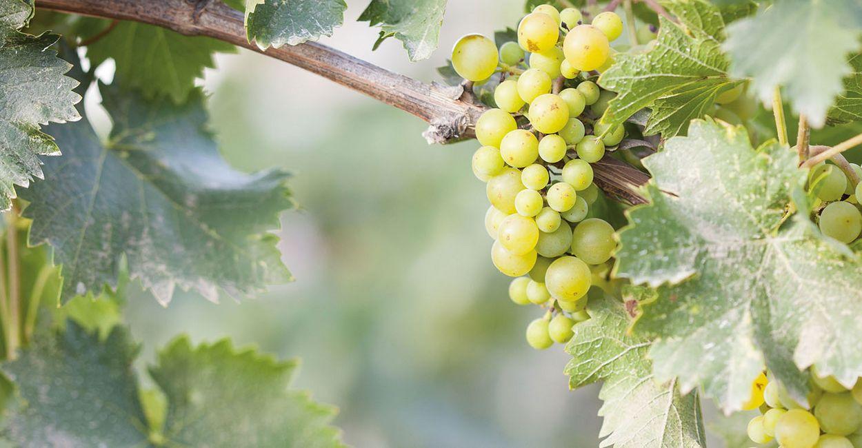 Weintrauben an Rebstock